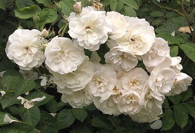 Роза плетистая красная
