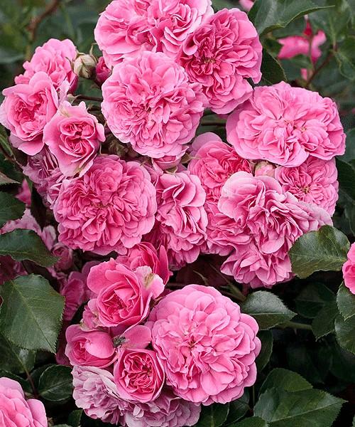 Стелющаяся роза фото