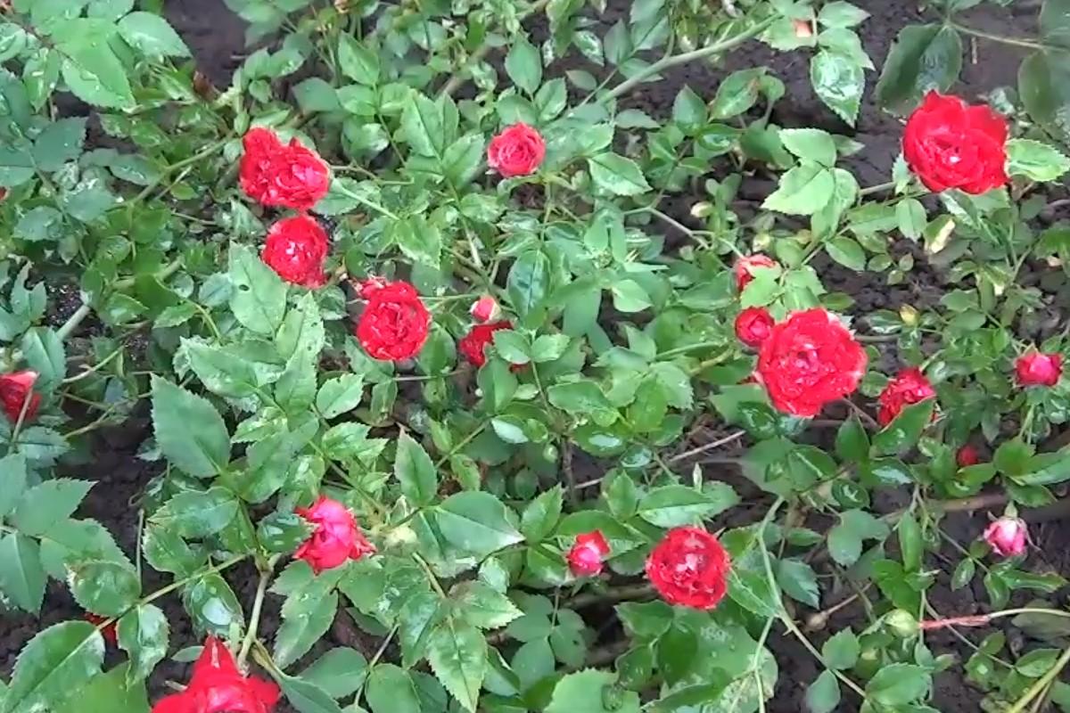 сдача аренду стелющиеся розы фото и названия листья