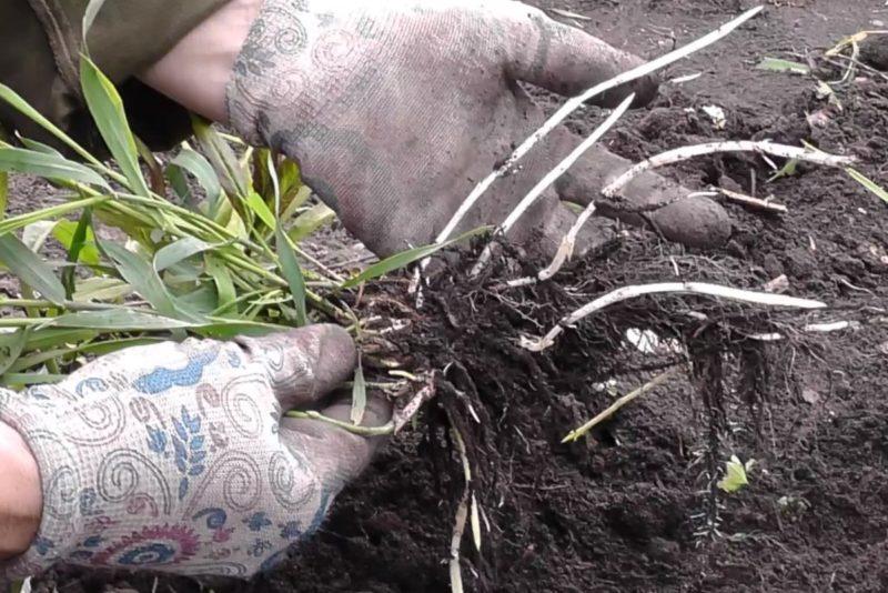 Растение пырей ползучий: фото, описание, лечебные свойства и противопоказания, рецепты применения корней в народной медицине